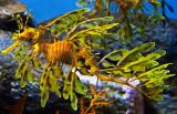 Leafy Sea Dragon _MG_3567.jpg