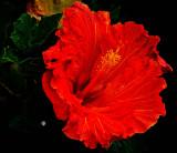 Red Flower _MG_5798.jpg