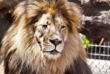 Lion _MG_6292.jpg