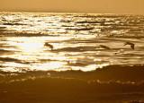 Golden ocean pelicans _MG_3915.jpg