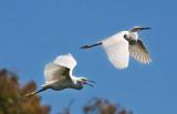 Snowy egrets flying _MG_8710.jpg