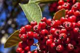 Red berries _MG_2734.jpg