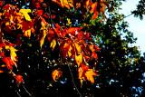 Yellow leaves on green _MG_1677.jpg