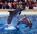 Dolphins at Brookfield Zoo .jpg