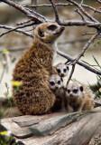 Meerkats at oakland zoo .jpg