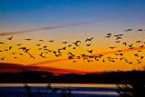 Pelican sunrise _MG_4754.jpg