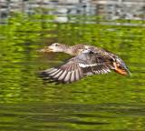 Duck on green _MG_0304.jpg