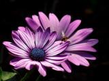 Flower  bug _MG_0415.jpg