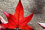 An upstanding leaf _MG_8983.jpg