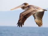 Da pelican _MG_6749 t.jpg