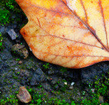 Leaf after the rain _MG_1897.jpg
