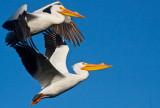 White pelicans blue sky _MG_9205.jpg