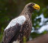 Sea Eagle San Diego zoo _MG_4940.jpg