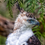 Hawk San Diego zoo _MG_4905.jpg