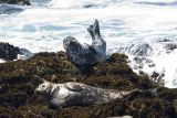 ex curled seal on rock with waves_MG_8420.jpg