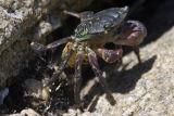 ex green crab molting?_MG_8999.jpg