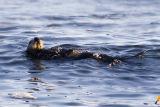 ex sea otter breaking shell on rock_MG_9451.jpg