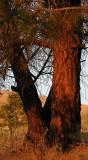Sunset redwood.jpg