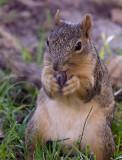 Squirrel eating nut.jpg