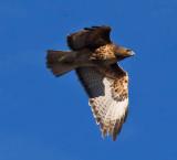 Hawk flying _MG_7122.jpg