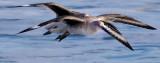 Four winged bird _MG_8893.jpg