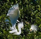 Punk egrets _MG_6056.jpg