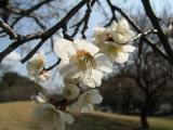 White plum flowers