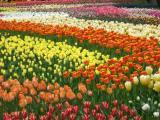 A tulips park