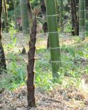 A young bamboo