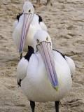 Pelicans at Monkey Mia