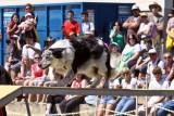 Agility dog 1