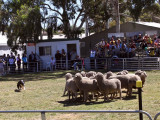 Rounding up sheep