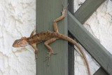 Mystery Lizard