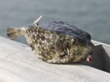 Fishermans catch - a boxfish- which species?