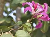Hong Kong Orchid Flower- Bauhinia