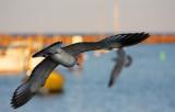 Gull in flight South Shore YC.jpg