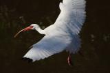 IMG_3153 White Ibis.JPG