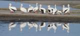 IMG_3082 Mirrored White Pelicans.JPG