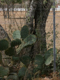 Cactus on the Fence