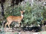 Axis Deer in the Wild