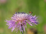 Milk Thistle and a Hard Worker