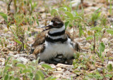 Kildeer Momma and Babies