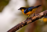 Blue Winged-Mountain Tanager
