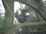 Adult Male in the Nest Tree-2