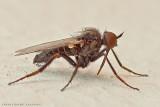 Empis (Lividae?) - Dance Fly
