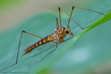 Crane fly (Tipula) (Daddy longlegs)