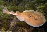 Torpedo Fish (Electric Fish)