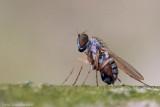 Fly - Dolichopus
