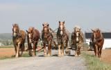 Amish_17