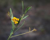 Daviesia mimosoides